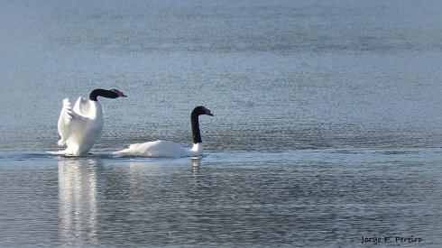 La danza del cisne