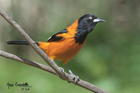 Naranja y Negro (Icterus Jamacaii)