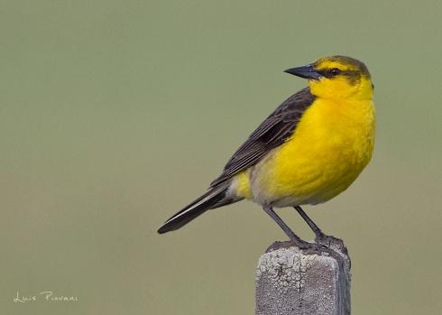 Torda amarilla