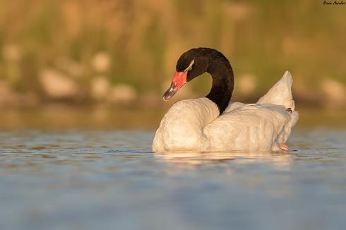 Cisne cuello negro - Cygnus melancoryphus