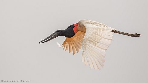 El vuelo del  Jabiru