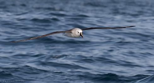 Albatros Pico Fino