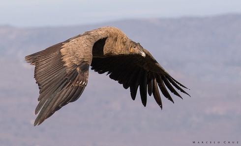 Condor III
