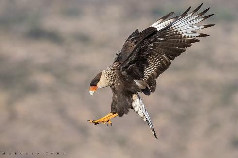 Con aires de  Aguila