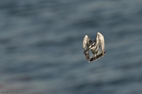 Mart�n pescador p�o (Ceryle rudis)