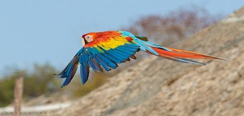 Scarlet Macaw ( Ara macao )