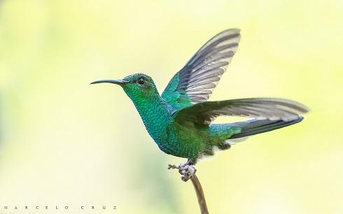 El colibr� coliazul