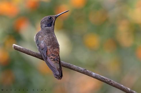 Colibr� Pardo (Colibri delphinae)III