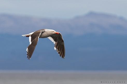 La  gris  en Ushuaia