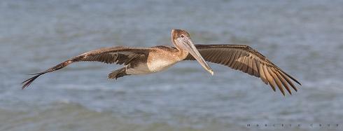 Y  dale con los  Pelicanos