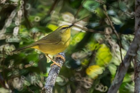 Arañero Ceja Amarilla