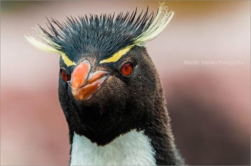 Pinguino Penacho Amarillo