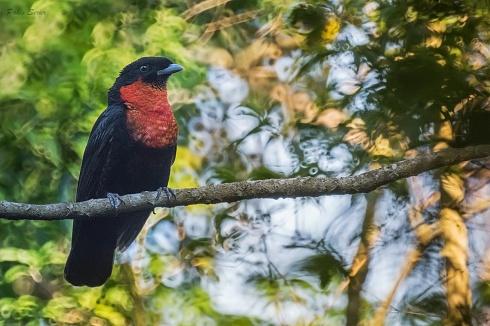 Yacútoro (el mayor passeriforme)