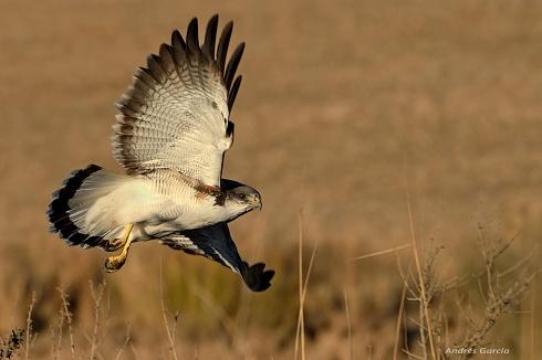 Aguilucho en vuelo