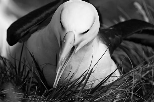 Albatros ceja negra
