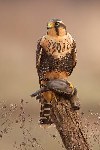El halcón y su presa