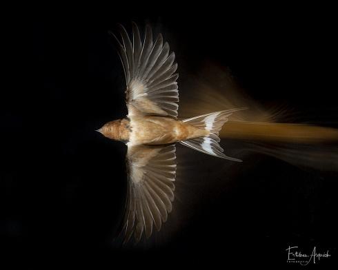 Golondrina tijerita - Hirundo rustica