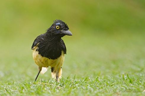 Plush crested jay - Urraca com�n
