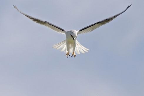 halconeando