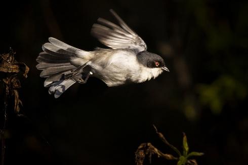 Monterita volando hacia la oscuridad
