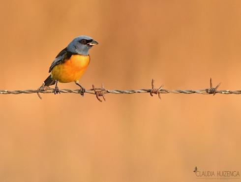 Naranjero macho.