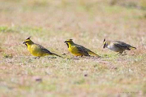 amarillo x 3