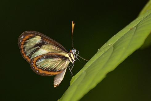 Mariposa NN en Mindo