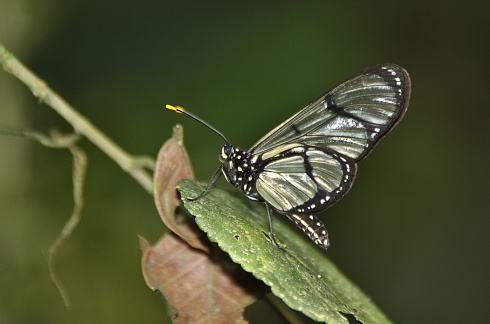 Otra Mariposa de Mindo - Ecuador