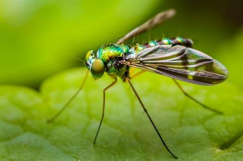 Mosca de patas largas (Familia Dolichopodidae)