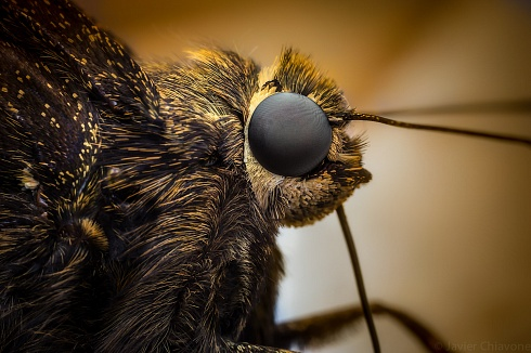 Mariposa Perfil