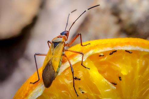 Chinche Roja (Pyrrhocoridae)