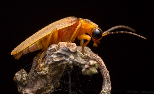 Luci�rnaga (Lampyridae)