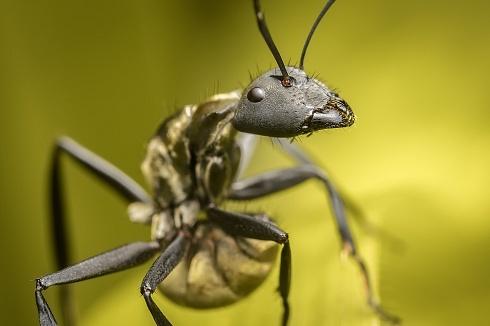 Hormigon (Camponotus Sericeiventris)