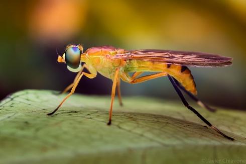 Mosca Soldado (Stratiomyidae) (Sarginae)