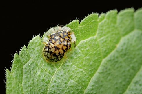 Escarabajo Tortuga (Deloyala Guttata)