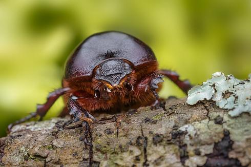Escarabajo Rinoceronte (Hembra)