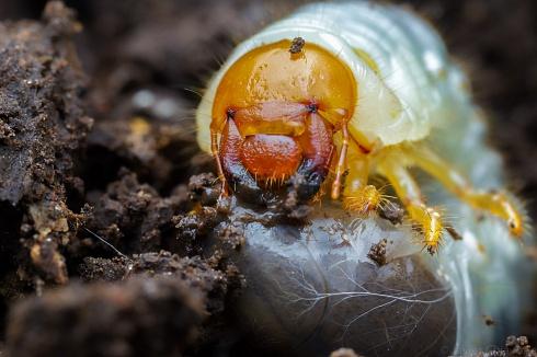 Larva De Escarabajo (Scarabaeidae)