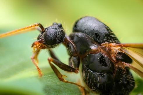Hormiga Voladora (Perfil)