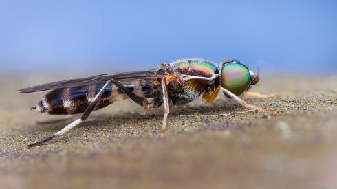 Mosca Soldado (Stratiomyidae)