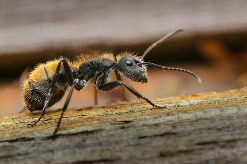 Hormiga Carpintera Bronceada