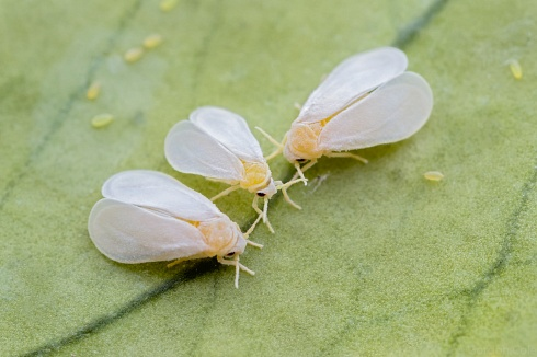 Mosca Blanca (Aleyrodidae)