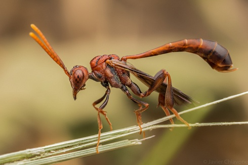 Avispa Par�sito (Gasteruptiidae)