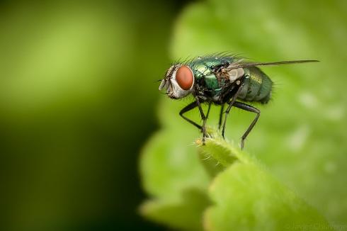 Mosca Verde (Lucilia sericata)