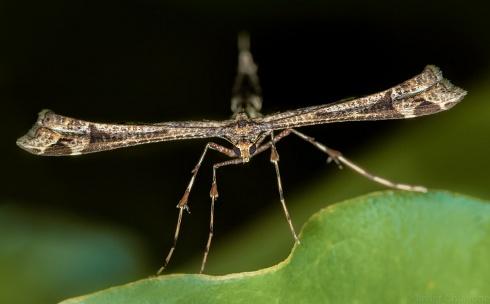 Polilla T (Pterophoridae)