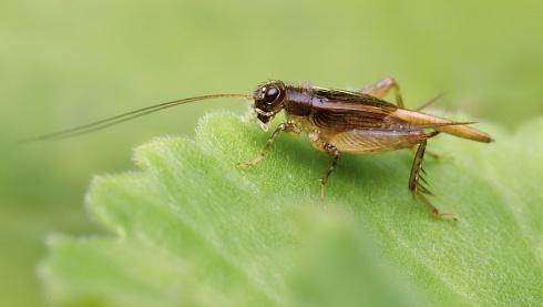 Grillito (Gryllidae)