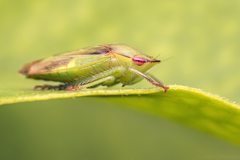 Chicharrita Navide�a (Cicadellidae)