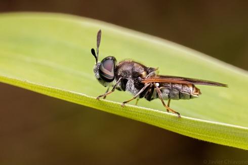 Mosca Soldado (Hoplitimyia mutabilis)
