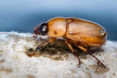 Escarabajo (Cyclocephala)