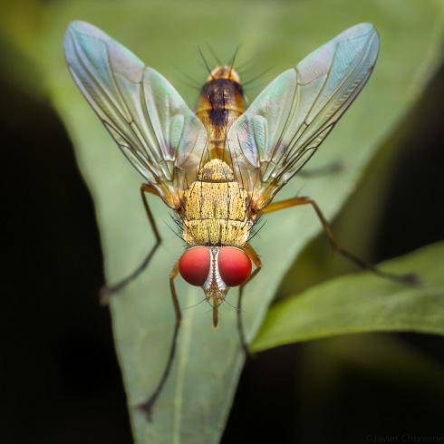 Mosca Dorada (Tachinidae)