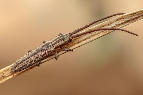 Escarabajo Largilucho (Dorcasta cinerea)